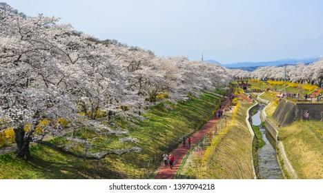 Miyagi, Japan - Apr 7, 2019: Cherry blossom near Shiroishi River at sunny day in Miyagi, Japan.