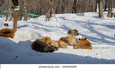 MIYAGI, JAPAN - February/19/2018: The foxes of Miyagi Fox Village in winter. This is a rescue center for foxes on the Miyagi side of Mt. Zao.   (3/9)