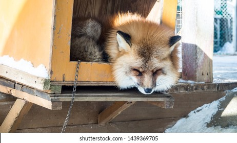 MIYAGI, JAPAN - February/19/2018: The foxes of Miyagi Fox Village in winter. This is a rescue center for foxes on the Miyagi side of Mt. Zao.   (4/9)