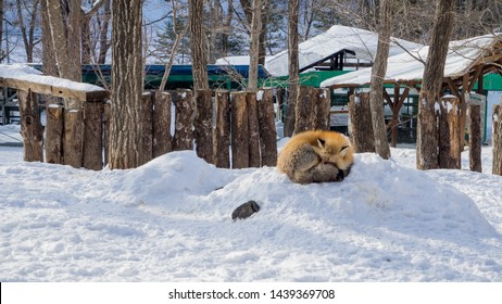 MIYAGI, JAPAN - February/19/2018: The foxes of Miyagi Fox Village in winter. This is a rescue center for foxes on the Miyagi side of Mt. Zao.   (1/9)