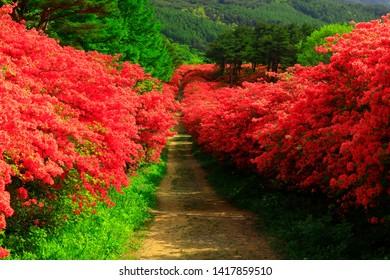 Miyagi  Prefecture Azalea blooming Tokusen Mountain