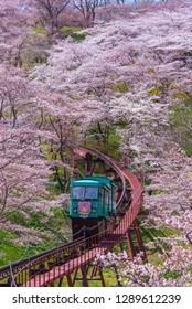 MIYAGI,JAPAN - APRIL 13, 2017 : Tourists slope car pass through tunnel of Cherry Blossom at Funaoka Castle Ruin Park, Miyagi, Japan