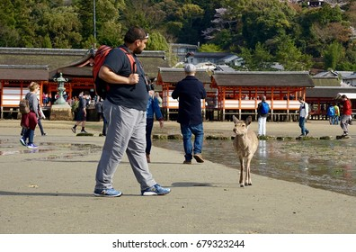 MIYAJIMA, JAPAN - APRIL 12, 2017: A tourist encounters a deer on the beach in front of Itsukushima Shrine. Deers are considered Miyajima's local and can be found almost everywhere on the island.