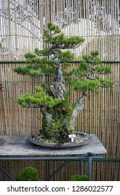 Miyazaki, Japan - November 8, 2018: Bonsai tree sale at the autumn garden plant market at the Miyazaki Jingu grounds