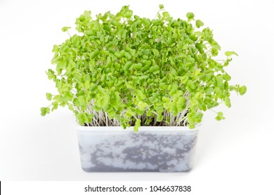 Mizuna microgreen in white plastic container. Green shoots of Japanese mustard greens, kyona or spider mustard. Brassica juncea. Sprouts. Vegetable. Macro food photo, close up, front view, over white.