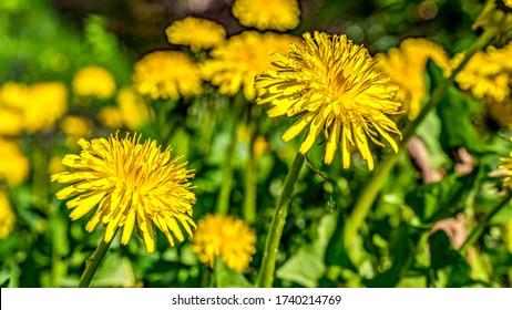 Mniszek lekarski, dmuchawiec kwiaty Taraxacum officinale Wallpaper - Shutterstock ID 1740214769