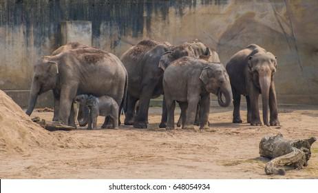 Mob of asian elephants grey thick skin baby elephant