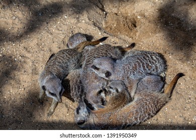 A mob of meerkats asleep in a pile or huddle with a pup on the inside.
