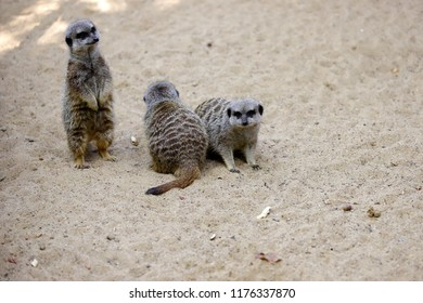 A mob of wild African Meerkats (Suricata suricatta). Photography of nature and wildlife.