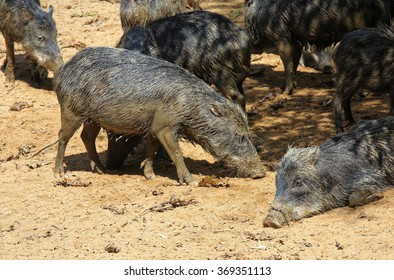 mob of wild smelly pigs in the Amazon jungle