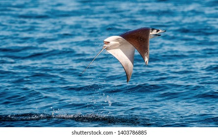 Mobula ray jumping out of the water. Mobula munkiana, known as the manta de monk, Munk's devil ray, pygmy devil ray, smoothtail mobula, is a species of ray in the family Myliobatida. Pacific ocean