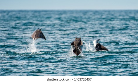 Mobula rays jumping out of the water. Mobula munkiana, known as the manta de monk, Munk's devil ray, pygmy devil ray, smoothtail mobula, is a species of ray in the family Myliobatida. Pacific ocean