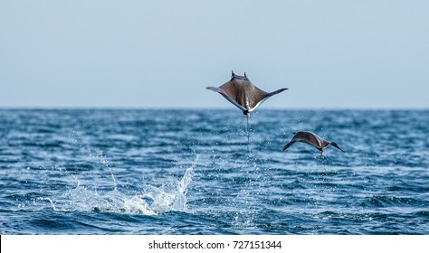 Mobula rays are jumps out of the water. Mexico. Sea of Cortez. California Peninsula .