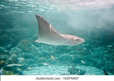 Mobula/Devil Fish swimming in the water
