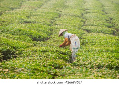 Moc Chau, Son La, Vietnam - Apr 16, 2016: The farmers are harvesting tea. the fresh tea leaves are picked carefully and will be processed into dried tea serving domestic needs and export to the world.