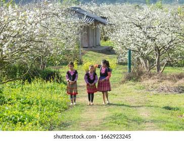 Moc Chau, Vietnam January 11, 2020: ethnic minority children playing in the plum blossom garden in full bloom.