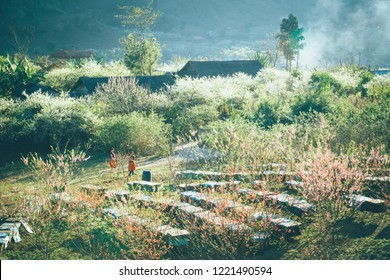 Moc Chau, Vietnam January 23, 2018: Spring is the season of flowering flowers blooming, Photo taken at Moc Chau plateau, Son La, Vietnam.