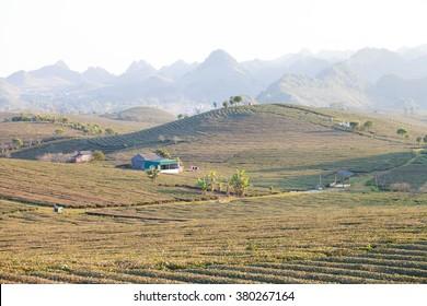 Mocchau highland, Vietnam: Moc Chau tea hill, Moc Chau village, North Vietnam on Jan 10,2016