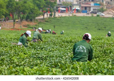 MocChau, Vietnam April 16, 2016: Farmers collecting tea leaves green tea in tea picking festival of ethnic,in Moc Chau Highland. Tea is tradition drink in Vietnam, china, japan, korea, etc...