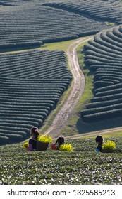 MOCCHAU, VIETNAM - February 10, 2019: Unidentified ethnic minority kids Hmong in tea hill in Moc Chau. Moc Chau is a rising travel spot in Vietnam.