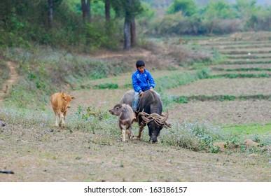 MOCCHAU, VIETNAM - February 20: Ton, 11, local children ride buffalo on February 20, 2012 in Mocchau, Vietnam. Riding buffalo is a fun of local children in Mocchau.