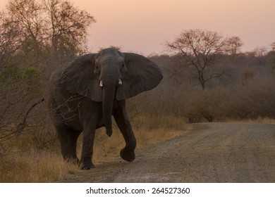 Mock Charge, African Elephant
