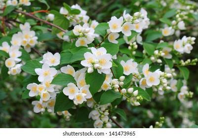 Mock orange tree flower blossoms in summer