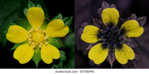 Mock strawberry flower in visible light (left) and false-color reflected UV (right).