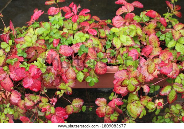 Mock strawberry plant also known as false strawberry, snake berry, and Indian berry