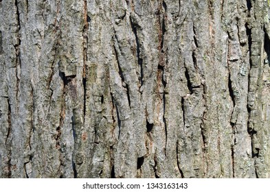 Mockernut Hickory tree bark also known as Carya tomentosa is in the hickory family. This close-up of the bark from a hickory tree that grows straight and can live 500 years.