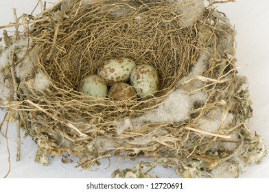 Mocking Bird Nest with 4 eggs