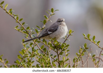Mockingbird perched in an evergreen bush