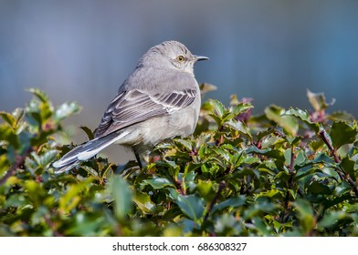 Mockingbird perched on an evergreen bush