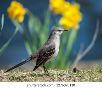 Mockingbird stands as if at attention