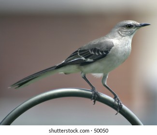 Mockingbird - Texas