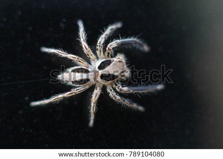 Mocro Shot Of The Jumping Spider On My Home 7 Jan 2018