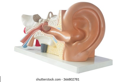 Model ear isolated on a white background ,Anatomy