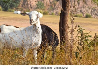 The Model Goat