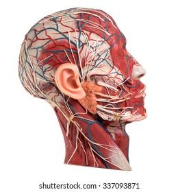 Model of Human Face Anatomy