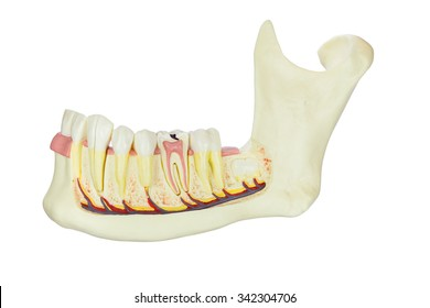 Model human jaw with teeth isolated on white background