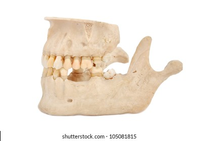 model of human teeth on a white background
