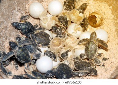 Model made of resin a baby Green sea turtle and eggs in hatching on a beach.