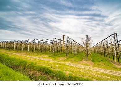 modern agriculture organizes fields into regular geometries of orchards that herald the arrival of spring with the first blooms
