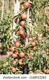 Modern apple orchard full of ripe fruits