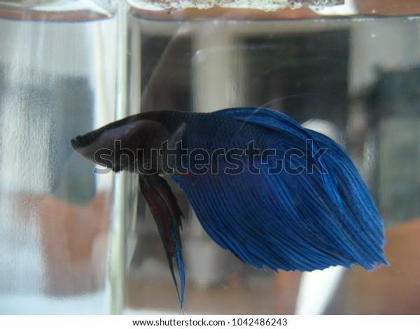 modern betta fish