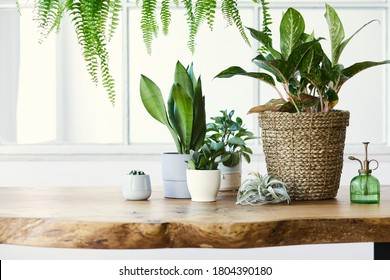 Modern composition of home garden filled a lot of beautiful plants, cacti, succulents, air plant in different design pots. Stylish botany interior. . Home gardening concept. Template. - Shutterstock ID 1804390180