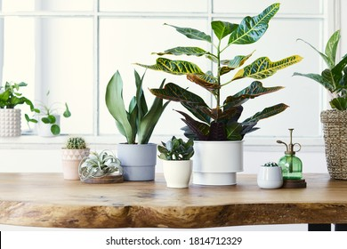 Modern composition of home garden filled a lot of beautiful plants, cacti, succulents, air plant in different design pots. Stylish botany interior. . Home gardening concept. Template. - Shutterstock ID 1814712329