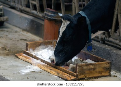 modern cowshed, for the cultivation of dairy breeds of cows