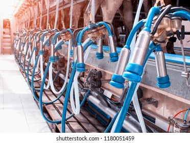 Modern equipment for milking cows on a new farm, the process of milking cows, system, industrial