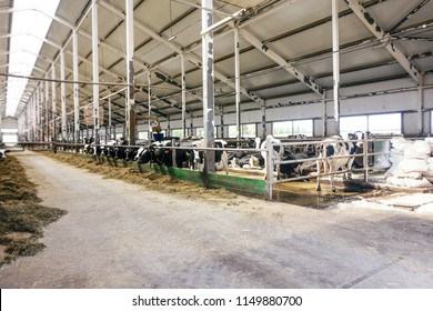 Modern farm cowshed with milking cows eating hay